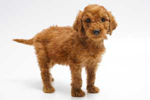 Red Irish Doodle Puppy